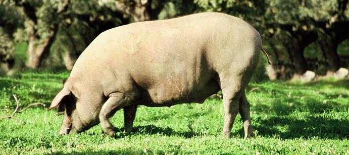 Inspección de Cerdos Ibéricos